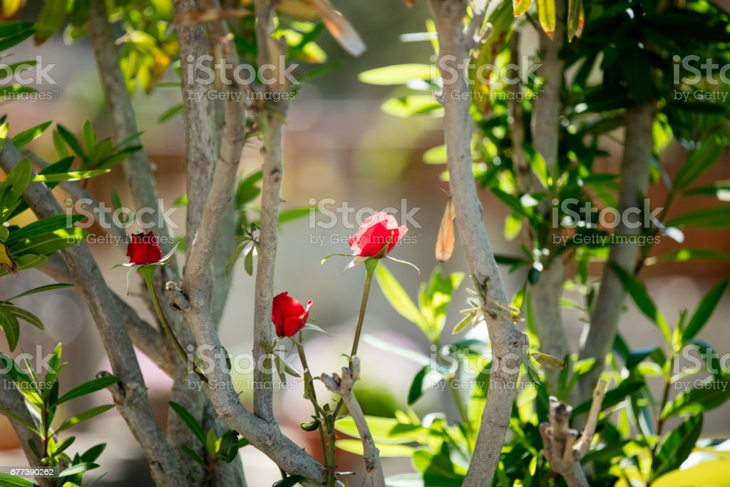 Photo Of Cute Red Blooming Roses On The Trees Branches Nature