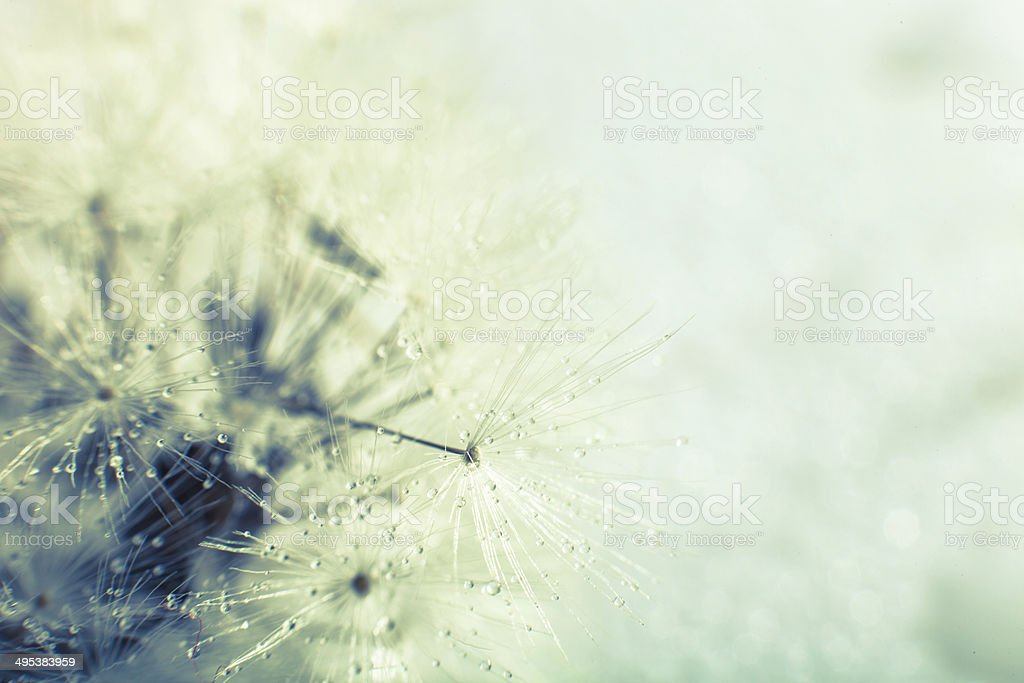 Photo of dandelion seed. Close-up. royalty-free stock photo