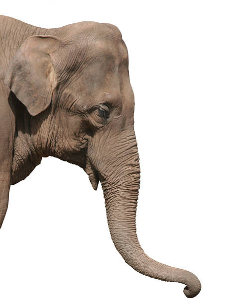 Photo of elephant head isolated on white  animal trunk stock pictures, royalty-free photos & images