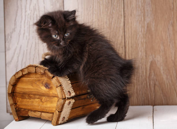 A photo of funny bleack american bobtail cat A photo of funny bleack american bobtail cat three monthes old on wooden background near box bobtail squid stock pictures, royalty-free photos & images