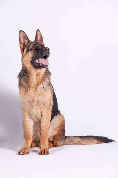 Photo of german shepherd dogs picture id613903104?b=1&k=6&m=613903104&s=612x612&w=0&h=e eoeohzp6dsmeilvvlge67oxq4mfrjm v   kcl6a4=
