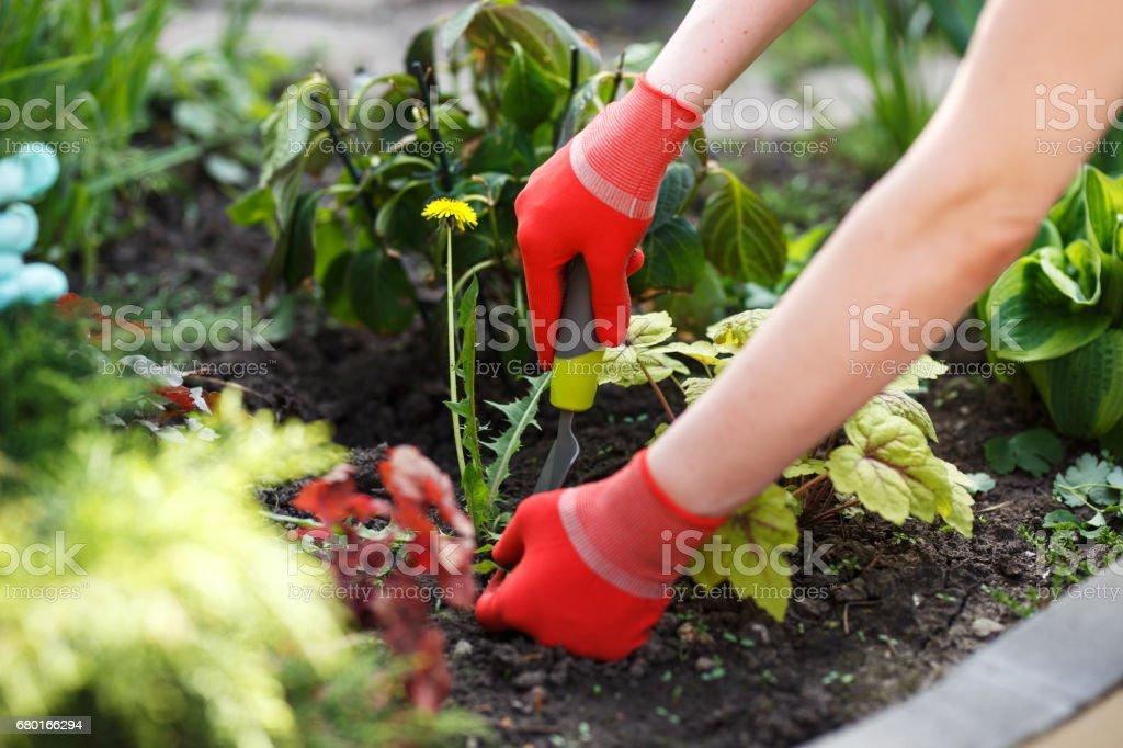Foto da mão enluvada mulher segurando a erva e ferramenta para removê-lo do solo. - foto de acervo
