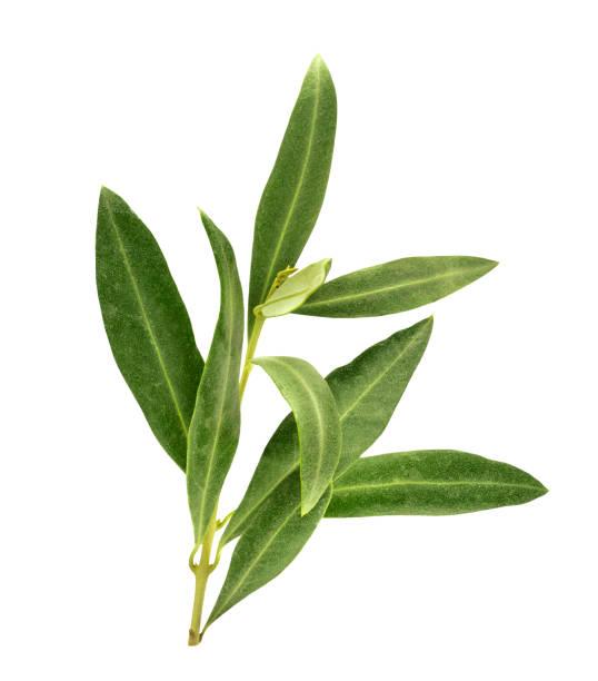 photo of green olive branch, isolated on white - ramoscello d'ulivo foto e immagini stock