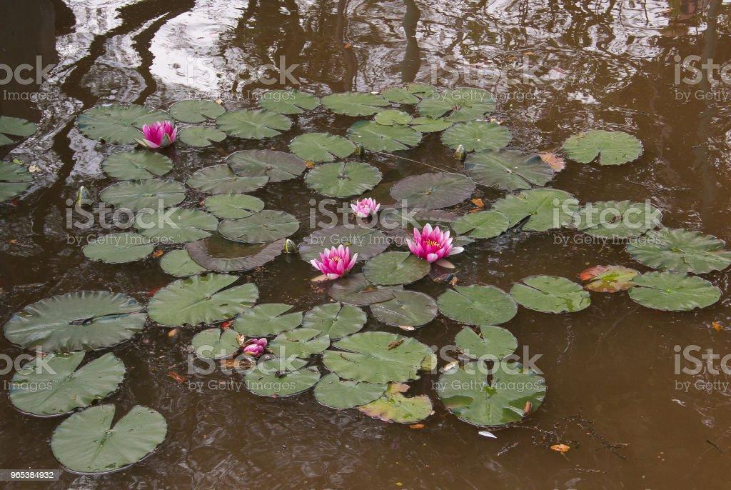 Photo of little lake with beautiful lotus flowers zbiór zdjęć royalty-free