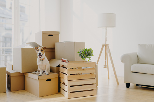 istock Photo of pedigree cute dog poses on pile of cardboard boxes with owner belongings, relocate in new flat, empty room with white walls, lamp and sofa, big window. Animals and Moving Day concept 1187435848