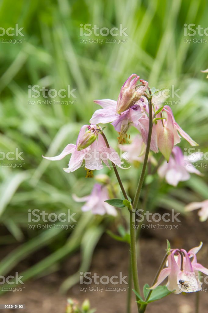 A Photo Of Pink Aquilegia Flowers In A Garden Common Names Of