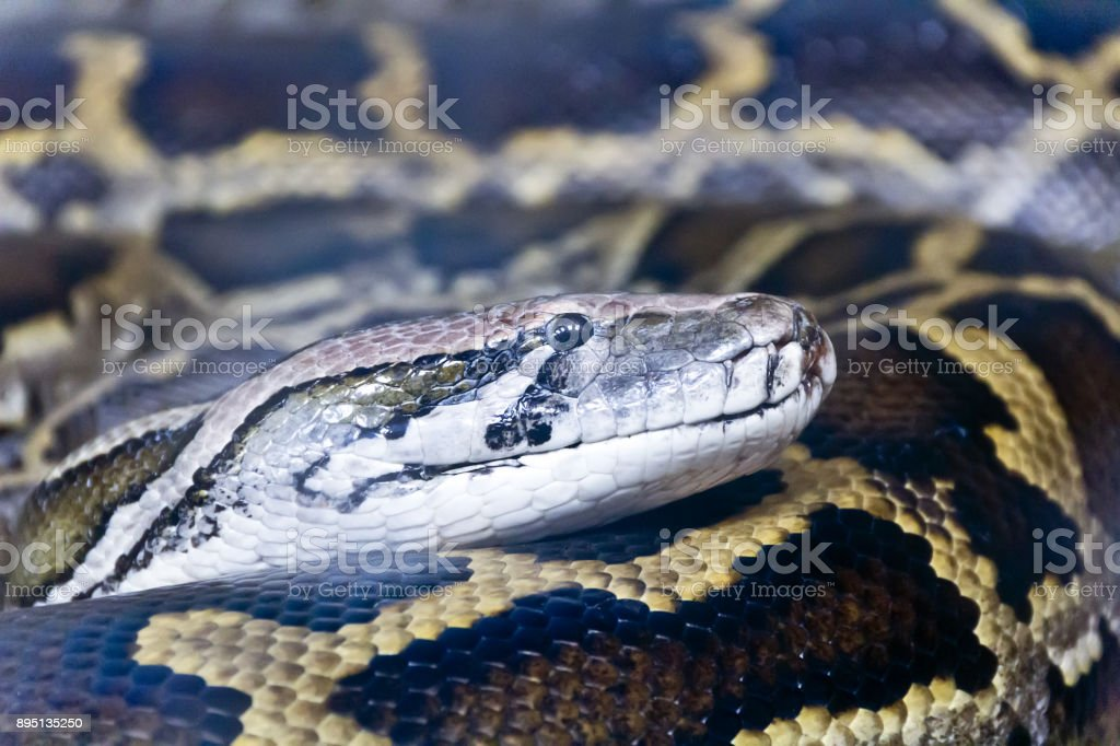 Photo of python head close up stock photo