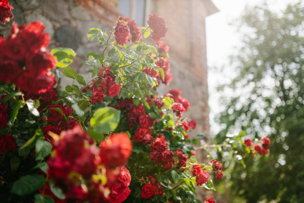 photo of red roses in the garden stock photo
