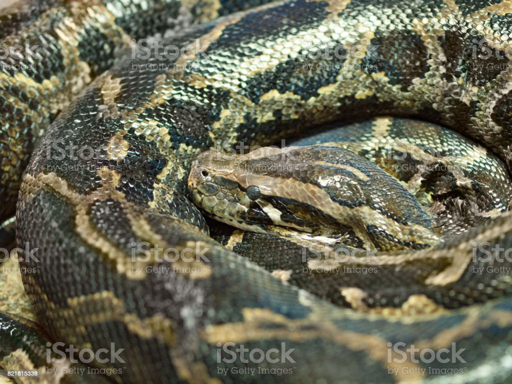 Photo of reticulated python head closeup stock photo
