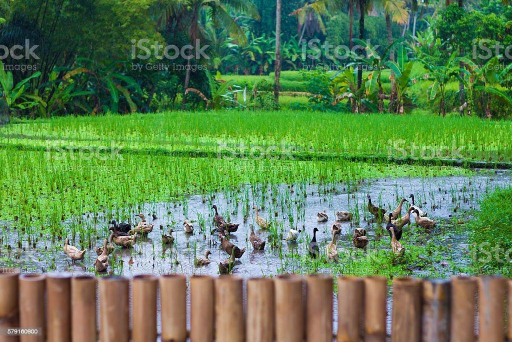 Photo of rice terrace, Bali, Indonesia. horizontal. стоковое фото