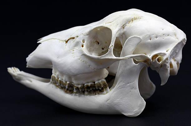 Photo of roe deer skull on white background – Foto