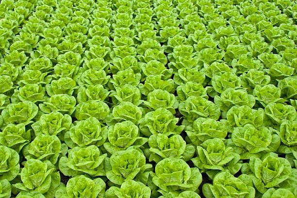 Salade verte - Photo