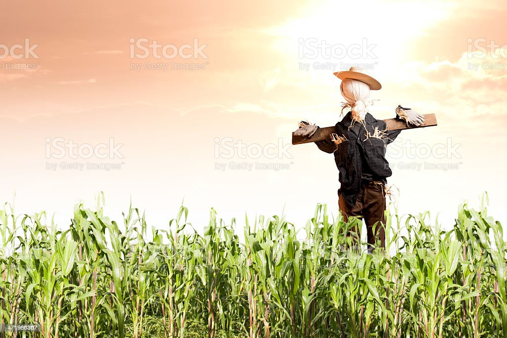 Photo of scarecrow in corn field at sunrise stock photo