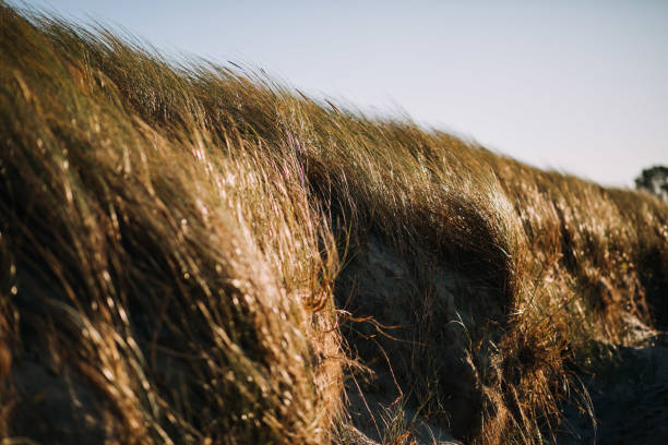 photo of sea grass at sunset time stock photo