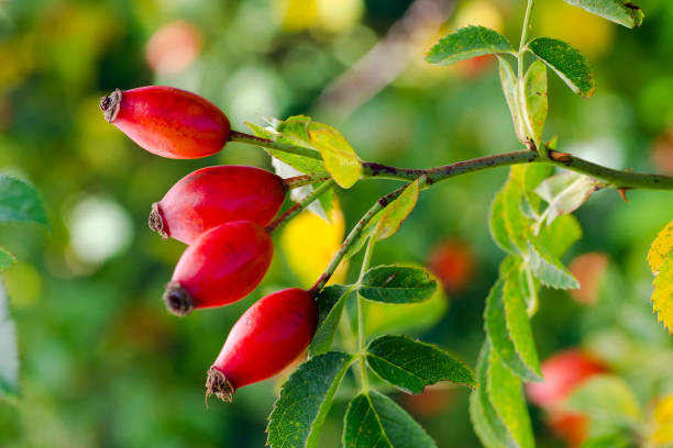 Photo of shrubs of rosehip in the wild on a sunny autumn day Photo of shrubs of rosehip in the wild on a sunny autumn day dog rose stock pictures, royalty-free photos & images