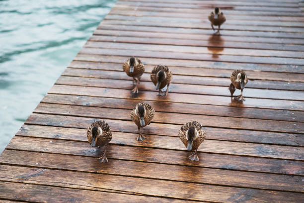 photo of small ducks on the wooden deck stock photo