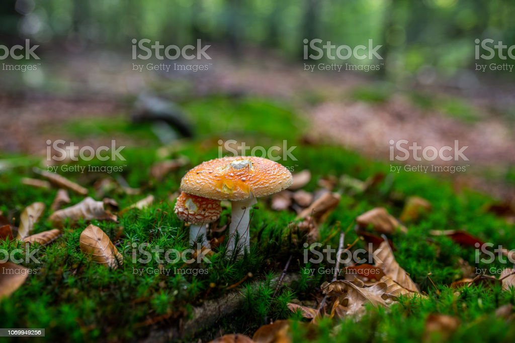 Photo of Small mushroom in the forest on green moss. stock photo