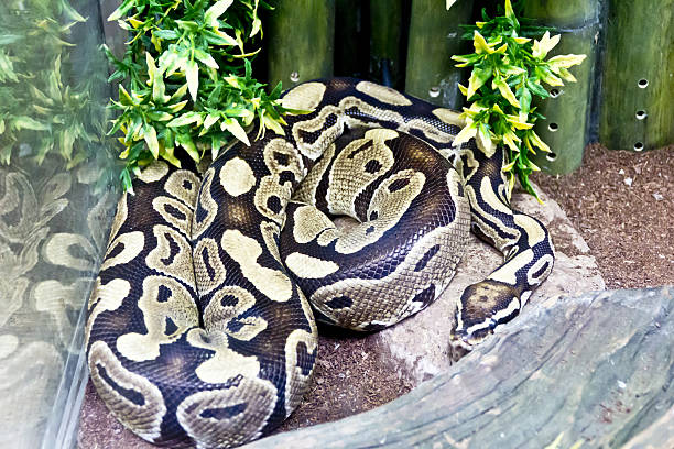 photo of snake close up in zoo - anaconda photos et images de collection