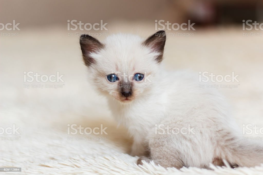 Photo of the siamese kitten - foto de stock