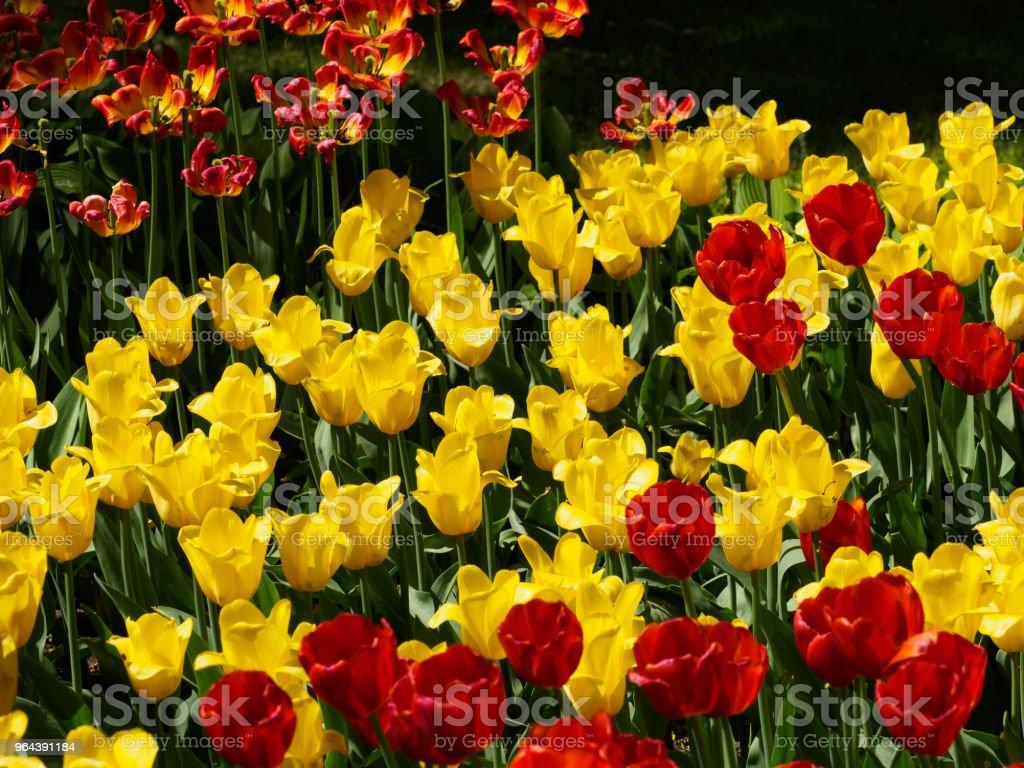Foto de tulipas no sol - Foto de stock de Abril royalty-free