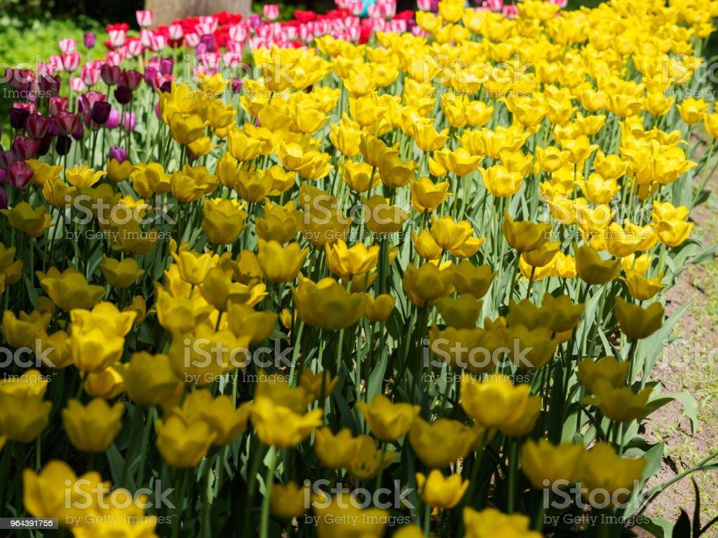 Foto van tulpen in de zon - Royalty-free April Stockfoto