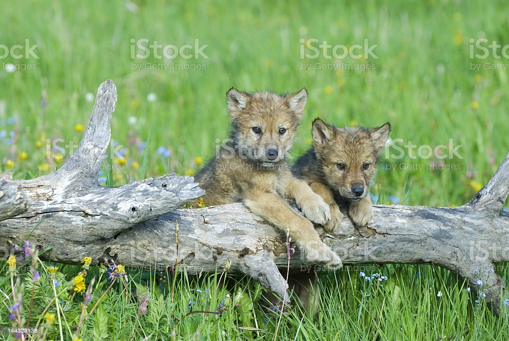 Photo of two gray wolf cubs hanging over a fallen tree stock photo