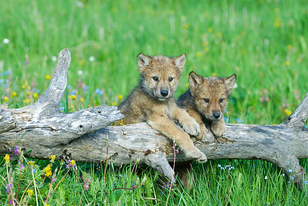Best Baby Wolf Stock Photos, Pictures & Royalty-Free ...