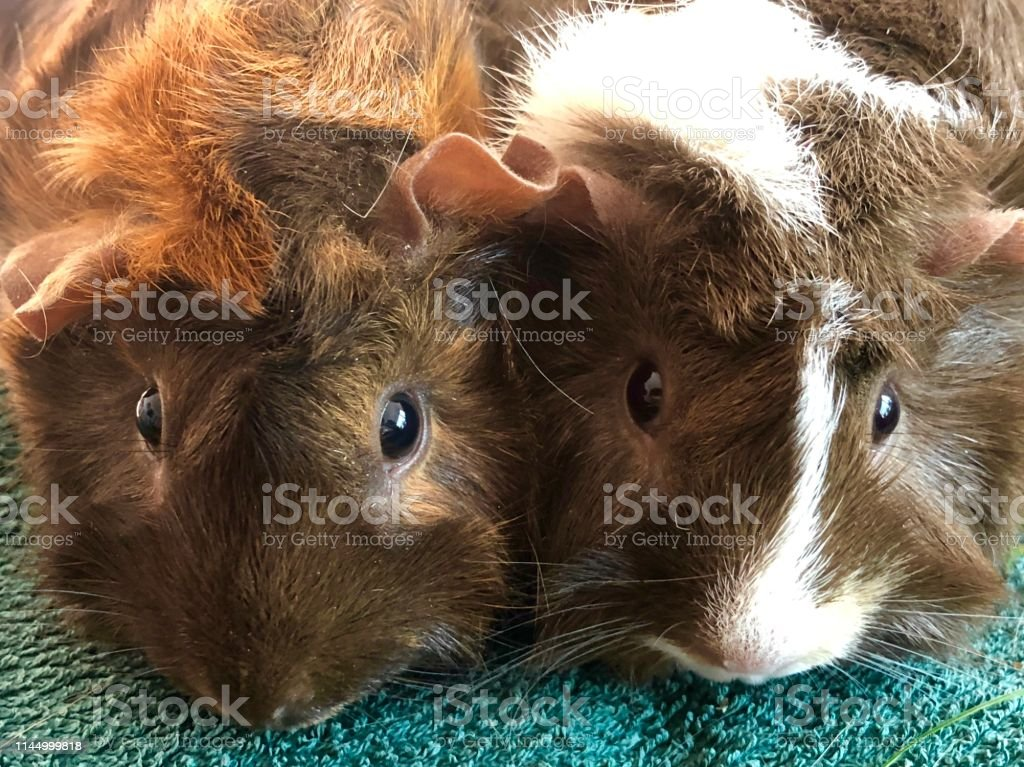 Photo Of Two Young Tortoise Shell Abyssinian Guinea Pigs