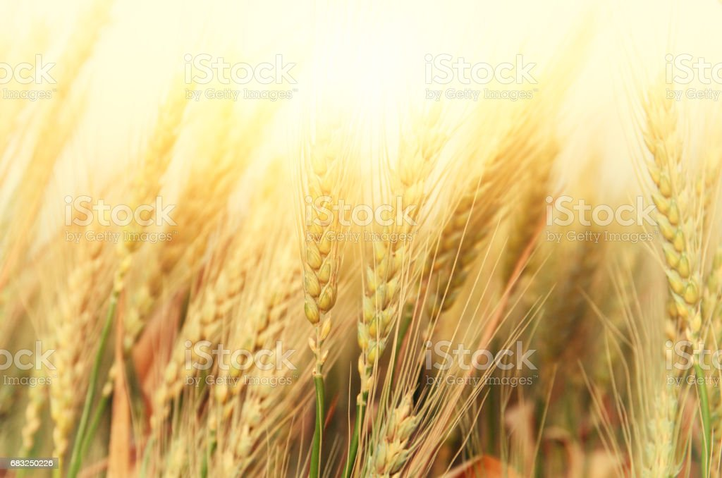 photo of wheat field at sunset royalty-free stock photo