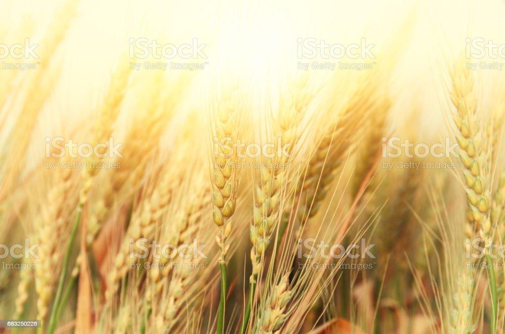 夕暮れ時の麦畑の写真 ロイヤリティフリーストックフォト
