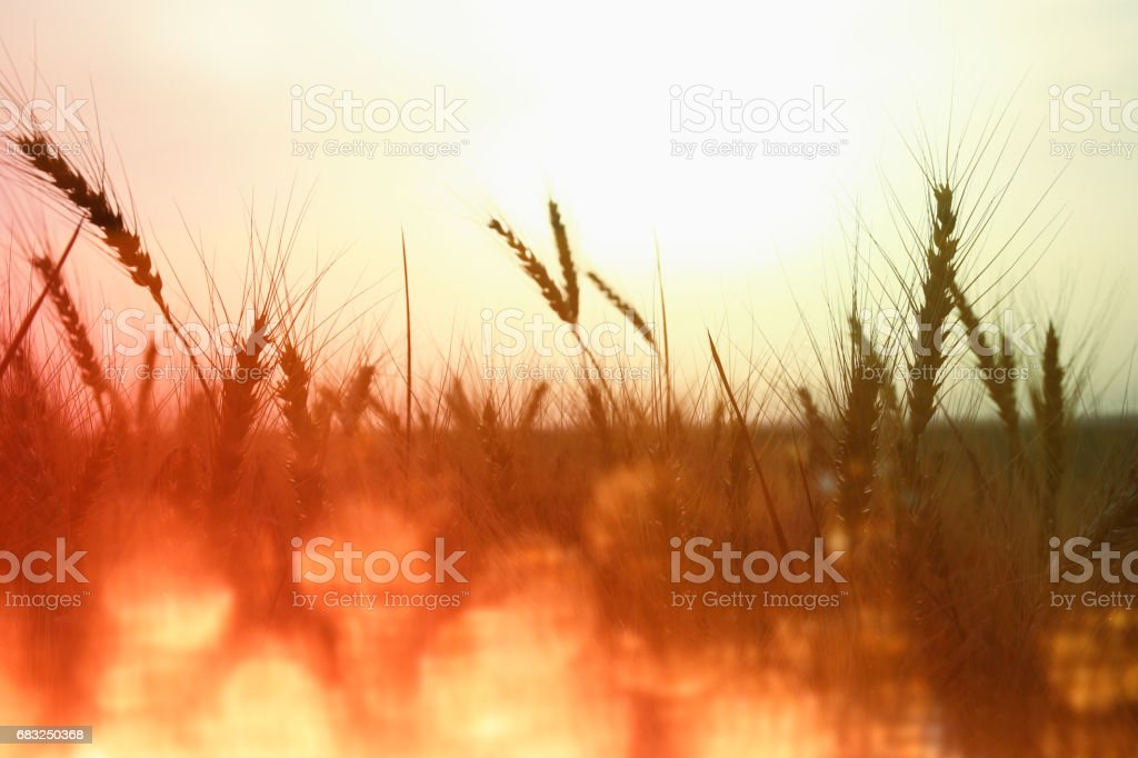 photo of wheat field at sunset. foto de stock royalty-free