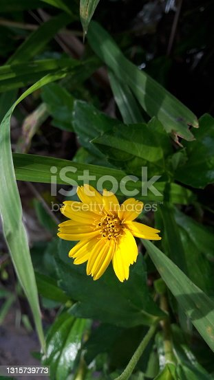 photo of yellow flowers, growing in the garden