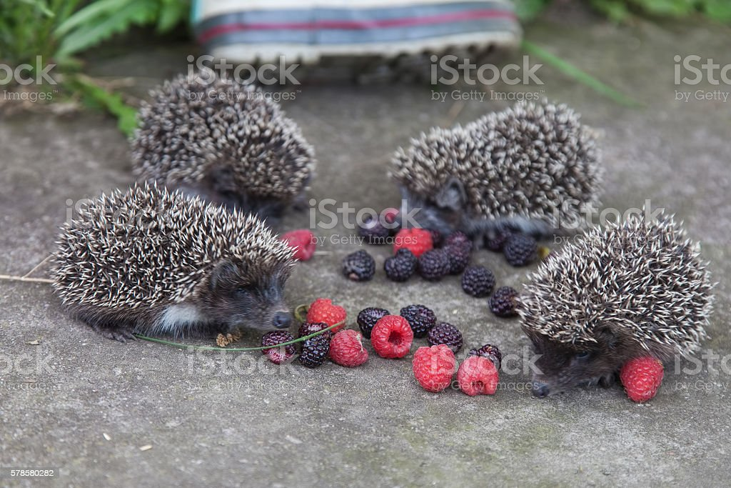 Photo of young hedgehog closeup stock photo