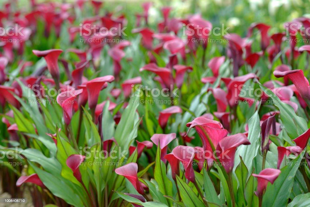 Photo image de champ jardin coloré de la fleur Calla - Photo