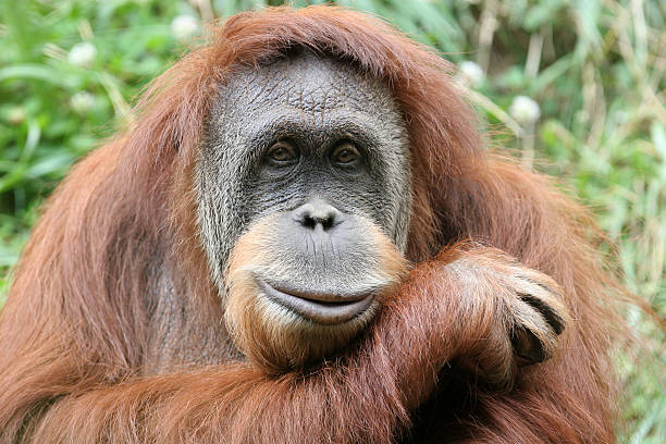 Photo portrait of a hairy orangutan, his head on his forearm An orangutan poses for the camera. orangutan stock pictures, royalty-free photos & images
