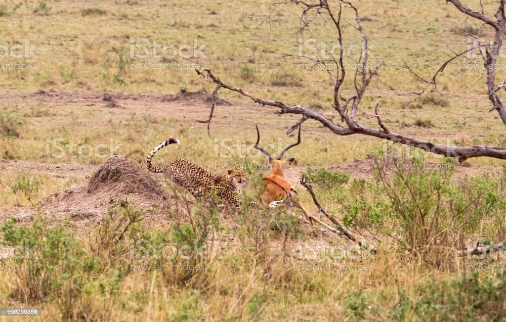 Photo series: Cheetah hunting for big Impala. The fifth episode. Masai Mara, Kenya stock photo