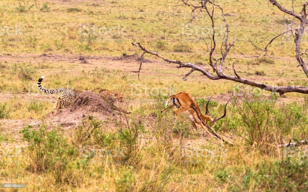 Photo series: Cheetah hunting for big Impala. The fourth episode. Masai Mara, Kenya stock photo