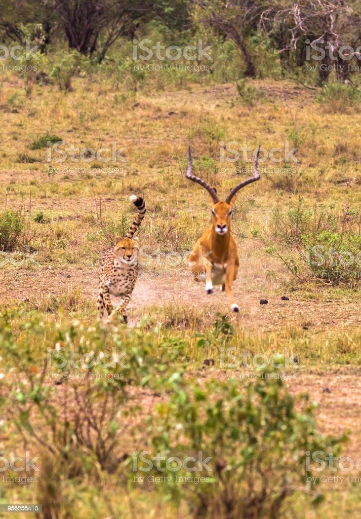 Photo series: Cheetah hunting for big Impala. The ninth episode. Masai Mara, Kenya stock photo