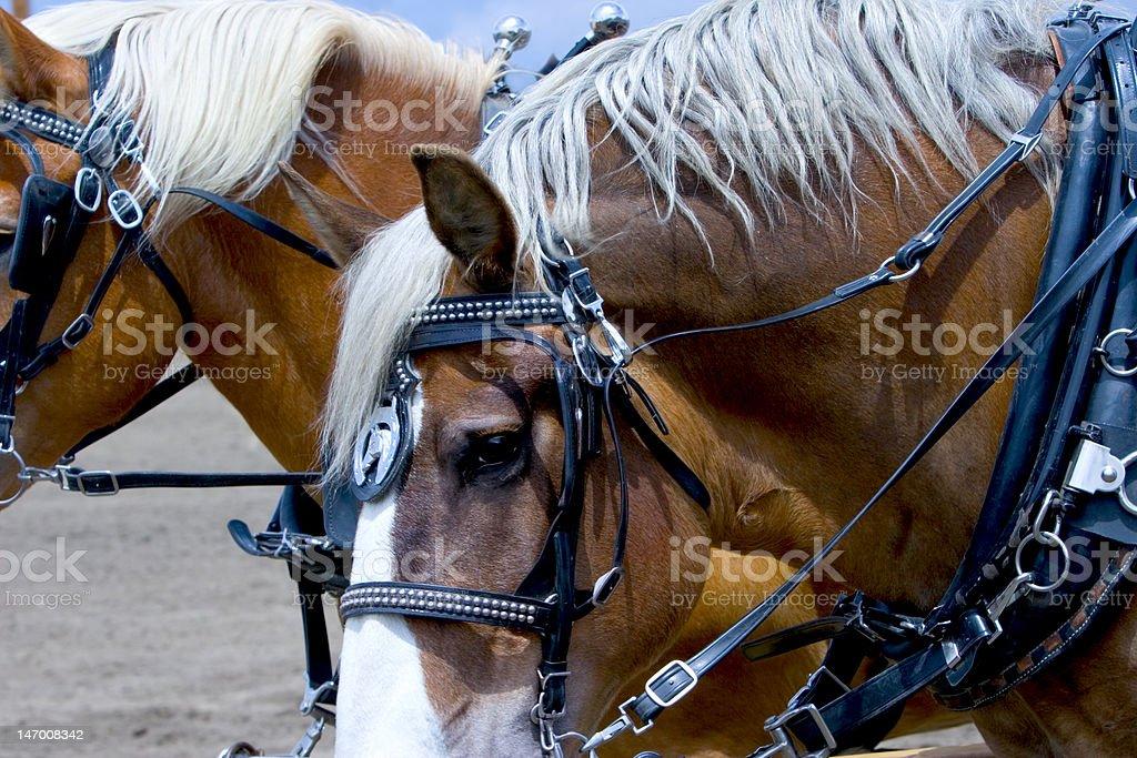 Photo Two Beautiful Sorrel Horses stock photo