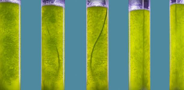 Photobioreaktor in der Algenbrennstoff-Biokraftstoffindustrie.  Algenbrennstoff oder Algenbiokraftstoff ist eine Alternative zu fossilen Brennstoffen, die Algen als Quelle natürlicher Ablagerungen verwendet – Foto