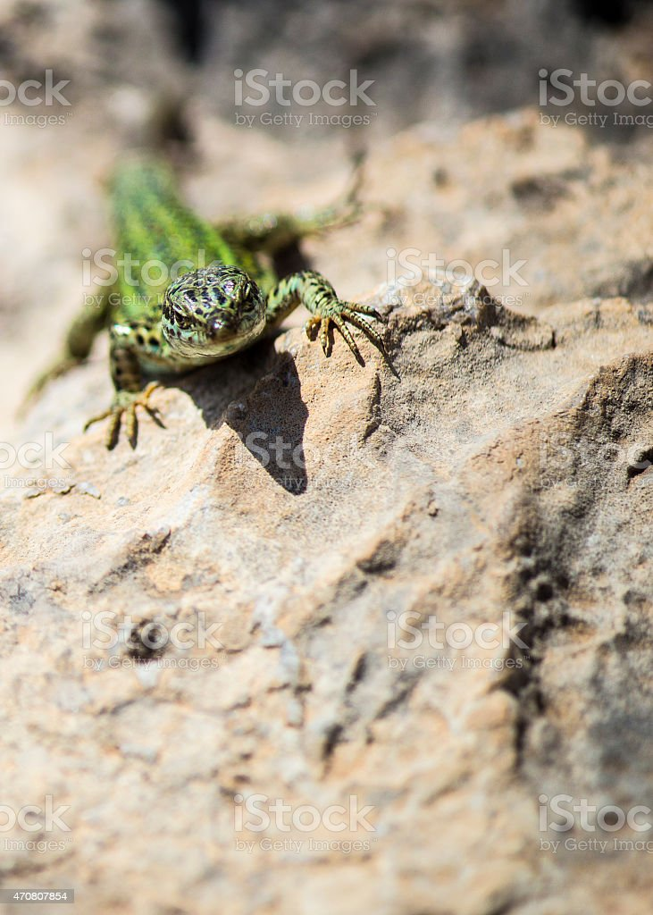Photogenic Lizard stock photo