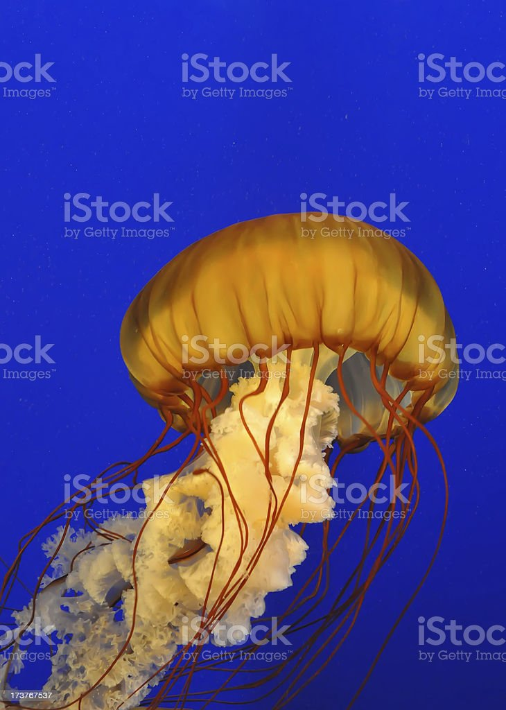 Photograph of a bright orange jellyfish on a blue background stock photo