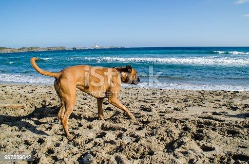Photograph of a dog running along a beach in Menorca. Boxer brown.