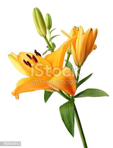 Orange Lily isolated on white background.