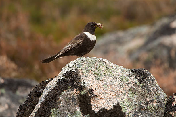 Photograph of a male ring ouzel with a worm in its mouth  stock photo