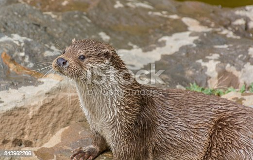 Photograph of a pair of otters playing on the rocks