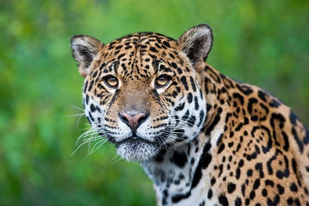 Photograph of a stunning Jaguar in the wild Jaguar - Panthera onca jaguar cat stock pictures, royalty-free photos & images