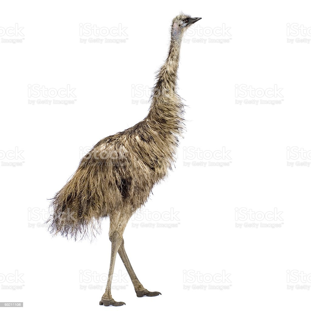 Photograph of an emu on a white background stock photo