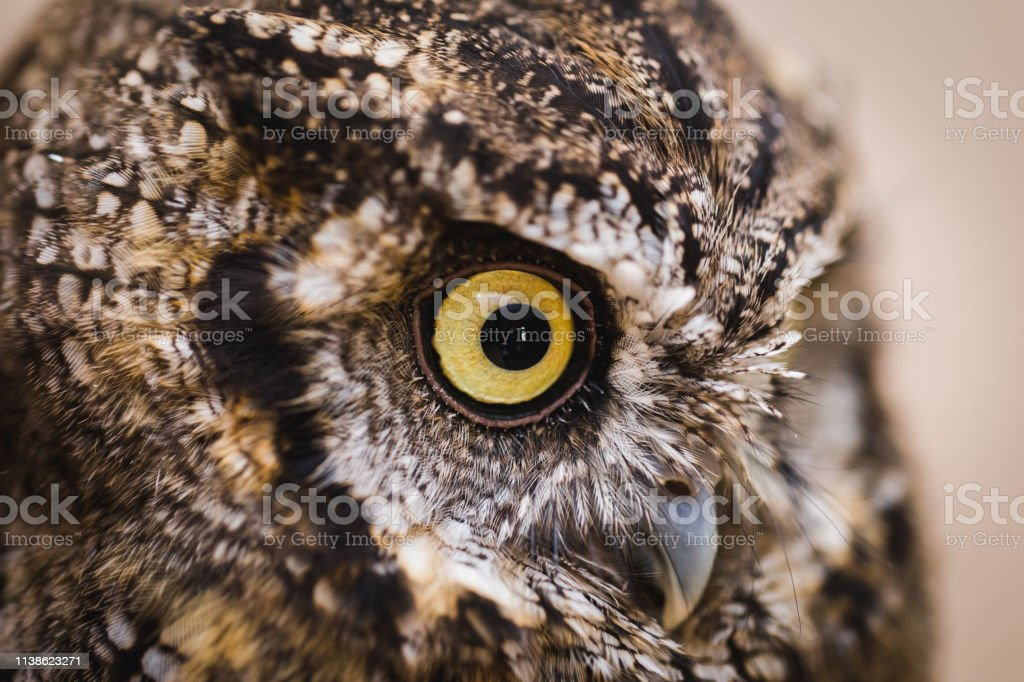 Photo of an Owl in macro photography, high resolution photo of owl...