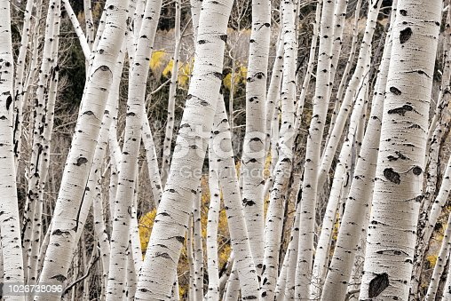 istock A photograph of aspen tree trunks in the autumn 1026738096